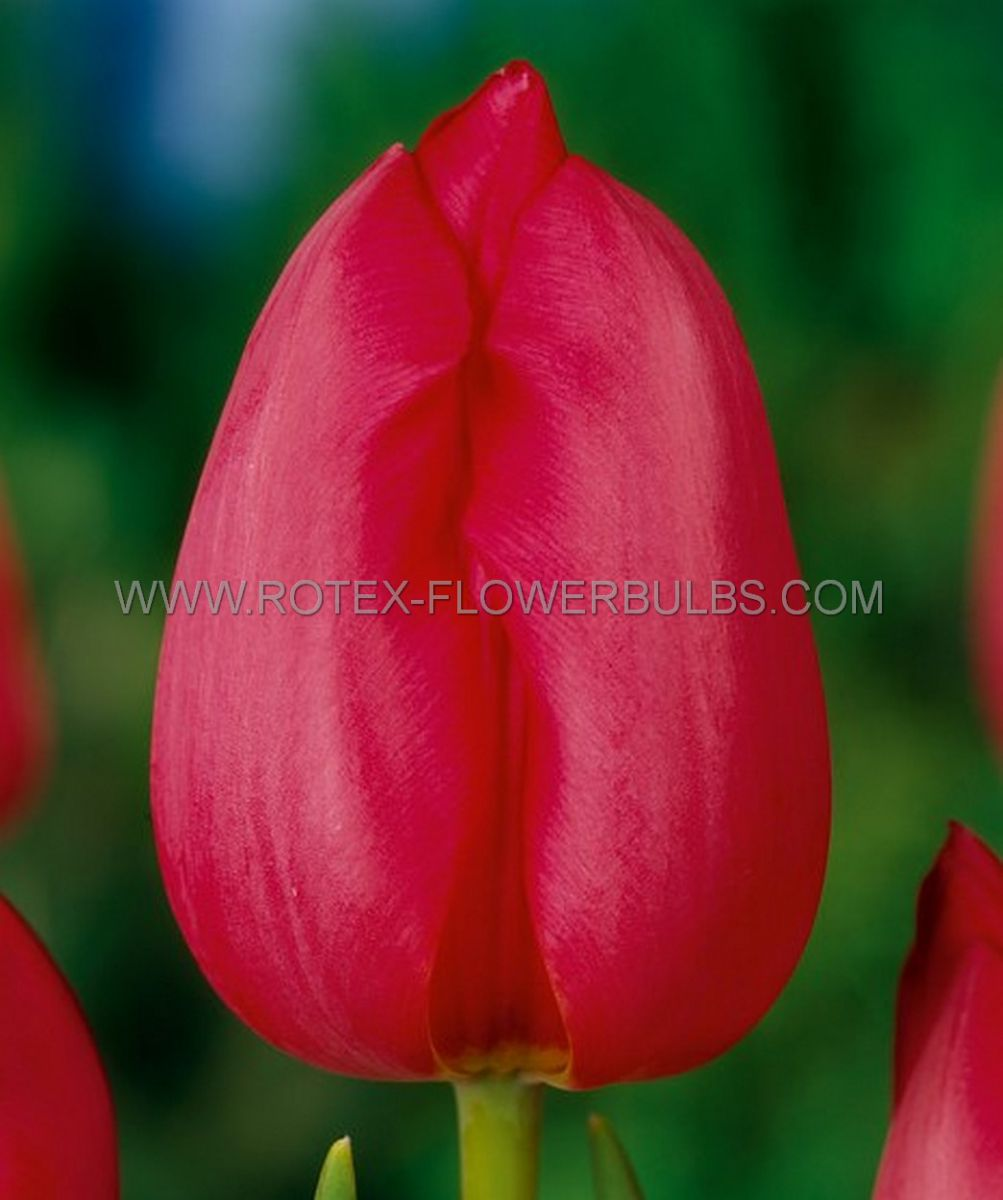 jumbo landscape pkgs tulipa darwin hybrid van eyk 1112 cm 10 pkgsx 50