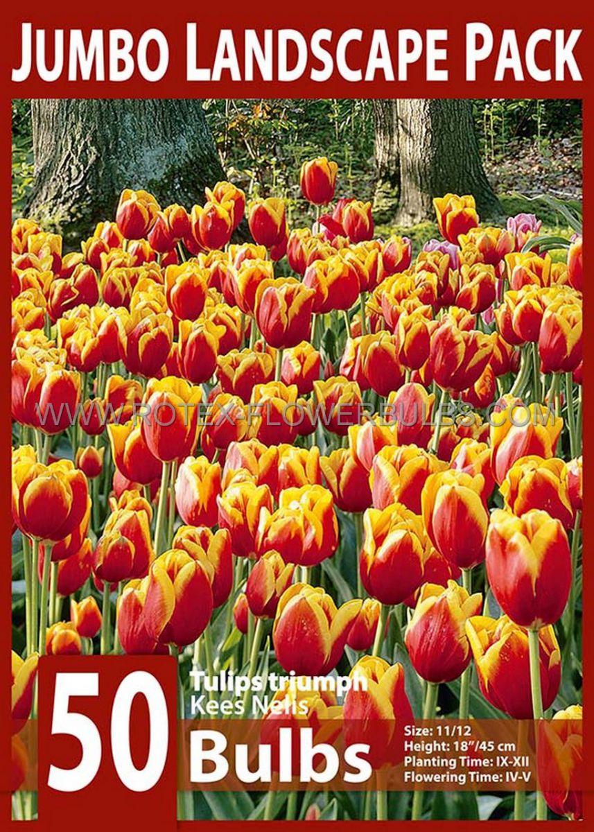 jumbo landscape pkgs tulipa triumph kees nelis 1112 cm 10 pkgsx 50