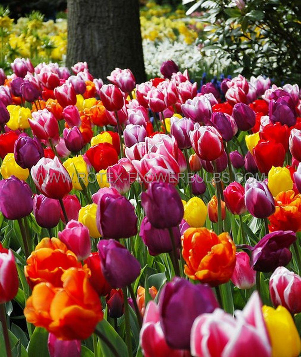jumbo landscape pkgs tulipa triumph mix 1112 cm 10 pkgsx 50