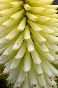 KNIPHOFIA (TORCH LILY) 'ICE QUEEN' I (25 P.BAG)