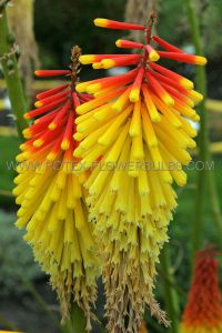 KNIPHOFIA (TORCH LILY) 'ROYAL STANDARD' I (25 P.BAG)