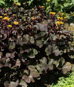 LIGULARIA (RAGWORT) DENTATA 'OTHELLO' I (25 P.BAG)