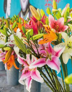 LILIUM ASIATIC ASSORTMENT (40 PKGS.X 2)