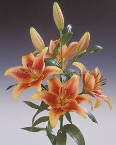 LILIUM ASIATIC 'AVALON SUNSET' 16/18 CM. (25 P.OPEN TOP BOX)
