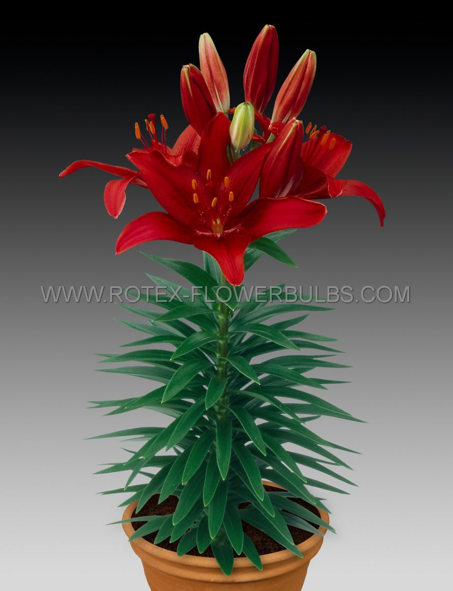 lilium asiatic borderpots cavoli 1618 cm 25 popen top box