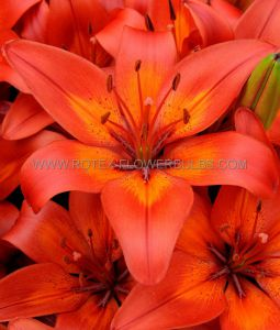 LILIUM ASIATIC (BORDER/POTS) 'MATRIX' 14/16 CM. (30 P.CARTON)