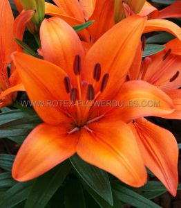 LILIUM ASIATIC (BORDER/POTS) 'ORANGE MATRIX' 14/16 CM. (30 P.CARTON)