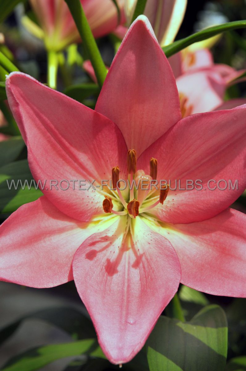 lilium asiatic borderpots silla 1618 cm 25 popen top box