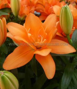 LILIUM ASIATIC (BORDER/POTS) 'TINY DOUBLE YOU' 14/16 CM. (30 P.CARTON)