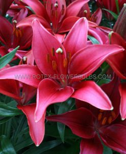 LILIUM ASIATIC (BORDER/POTS) 'TINY GHOST' 14/16 CM. (30 P.CARTON)