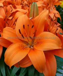 LILIUM ASIATIC (BORDER/POTS) 'TINY INVADER' 14/16 CM. (30 P.CARTON)