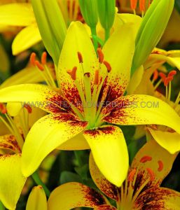 LILIUM ASIATIC (BORDER/POTS) 'TINY NUGGET' 14/16 CM. (30 P.CARTON)
