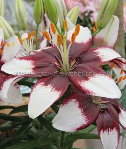 LILIUM ASIATIC (BORDER/POTS) 'TINY PADHYE' 14/16 CM. (30 P.CARTON)