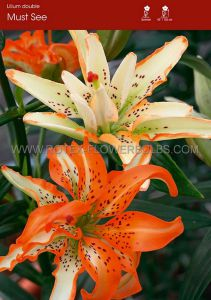 LILIUM ASIATIC DOUBLE 'MUST SEE' 16/18 CM. (25 P.OPEN TOP BOX)