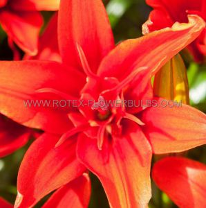 LILIUM ASIATIC DOUBLE 'RED TWIN' 16/18 CM. (25 P.OPEN TOP BOX)