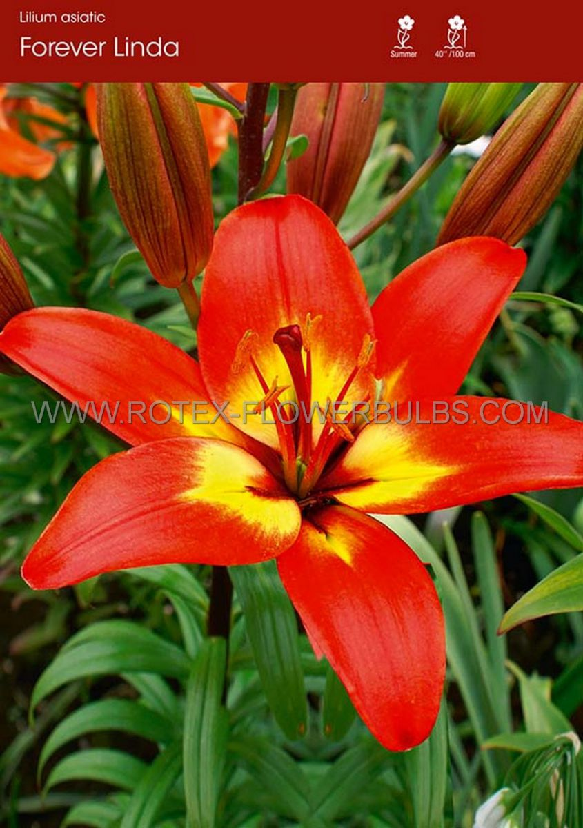 lilium asiatic forever linda 1618 cm 25 popen top box