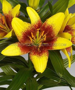 LILIUM ASIATIC 'GOLDEN STONE' 16/18 CM. (10 PKGS.X 2)