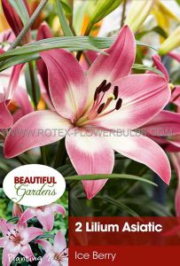 LILIUM ASIATIC 'ICE BERRY' 16/18 CM. (10 PKGS.X 2)