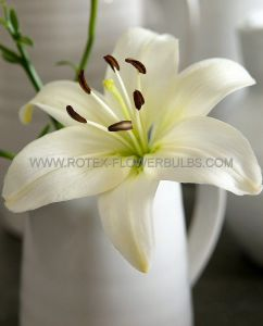 LILIUM ASIATIC 'KINGDOM' 16/18 CM. (10 PKGS.X 2)