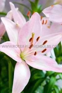 LILIUM ASIATIC 'LEVI' 16/18 CM. (25 P.OPEN TOP BOX)