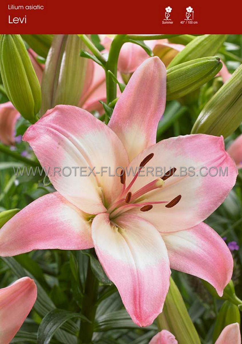 lilium asiatic levi 1618 cm 25 popen top box