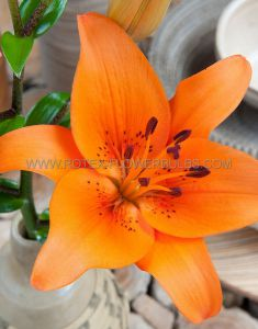 LILIUM ASIATIC 'MANDARIN STAR' 16/18 CM. (25 P.OPEN TOP BOX)