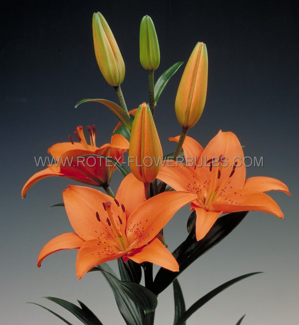 lilium asiatic mandarin star 1618 cm 25 popen top box