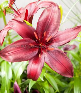 LILIUM ASIATIC 'MAPIRA' 16/18 CM. (25 P.OPEN TOP BOX)