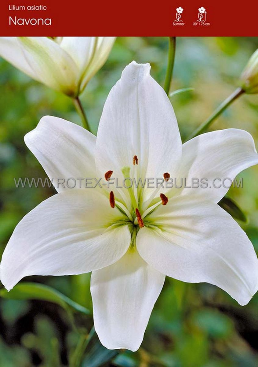 lilium asiatic navona 1618 cm 25 popen top box