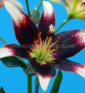 LILIUM ASIATIC 'NETTY'S PRIDE' 16/18 CM. (25 P.OPEN TOP BOX)