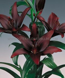 LILIUM ASIATIC 'NIGHTRIDER' 16/18 CM. (25 P.OPEN TOP BOX)