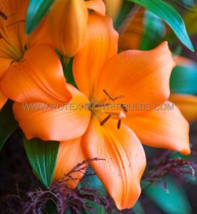 LILIUM ASIATIC 'ORANGE COUNTY' 16/18 CM. (10 PKGS.X 2)