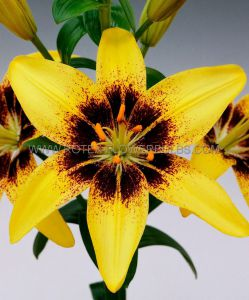 LILIUM ASIATIC 'PIETON' 16/18 CM. (25 P.OPEN TOP BOX)