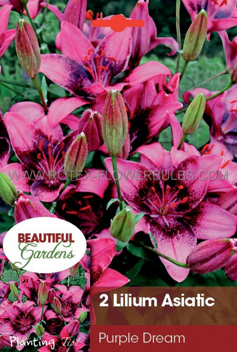 lilium asiatic purple dream 1618 cm 10 pkgsx 2