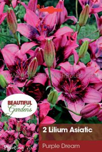 LILIUM ASIATIC 'PURPLE DREAM' 16/18 CM. (10 PKGS.X 2)