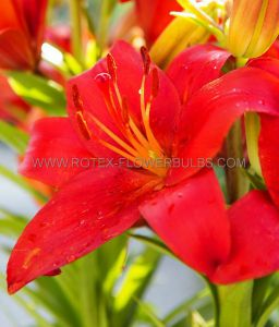LILIUM ASIATIC 'RED COUNTY' 16/18 CM. (10 PKGS.X 2)