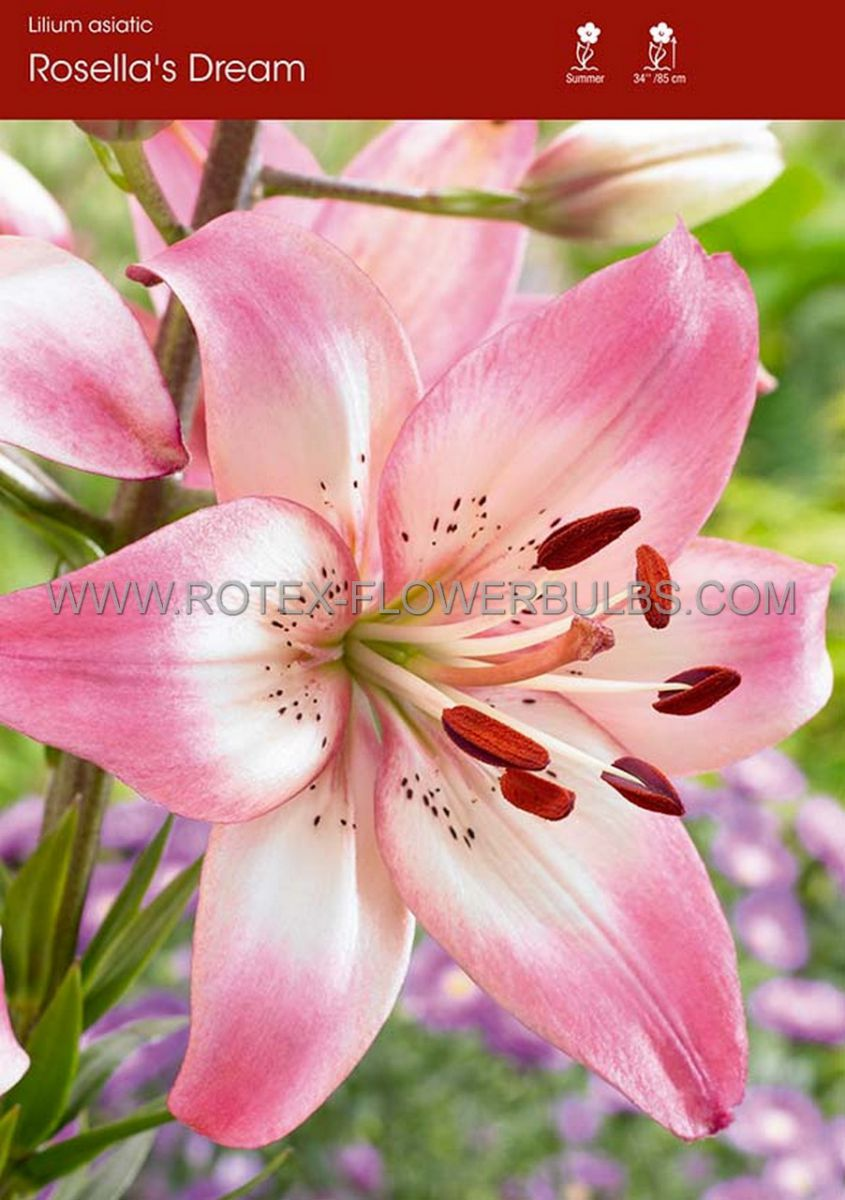 lilium asiatic rosellas dream 1618 cm 10 pkgsx 2
