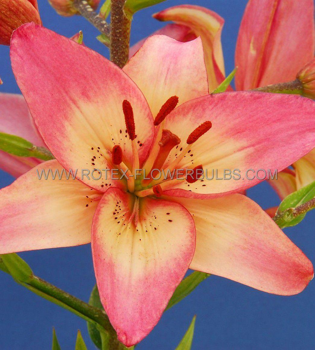 lilium asiatic rosellas dream 1618 cm 25 popen top box