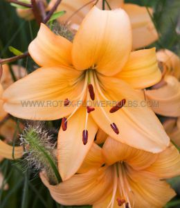 LILIUM ASIATIC 'SUNSET BOULEVARD' 16/18 CM. (25 P.OPEN TOP BOX)