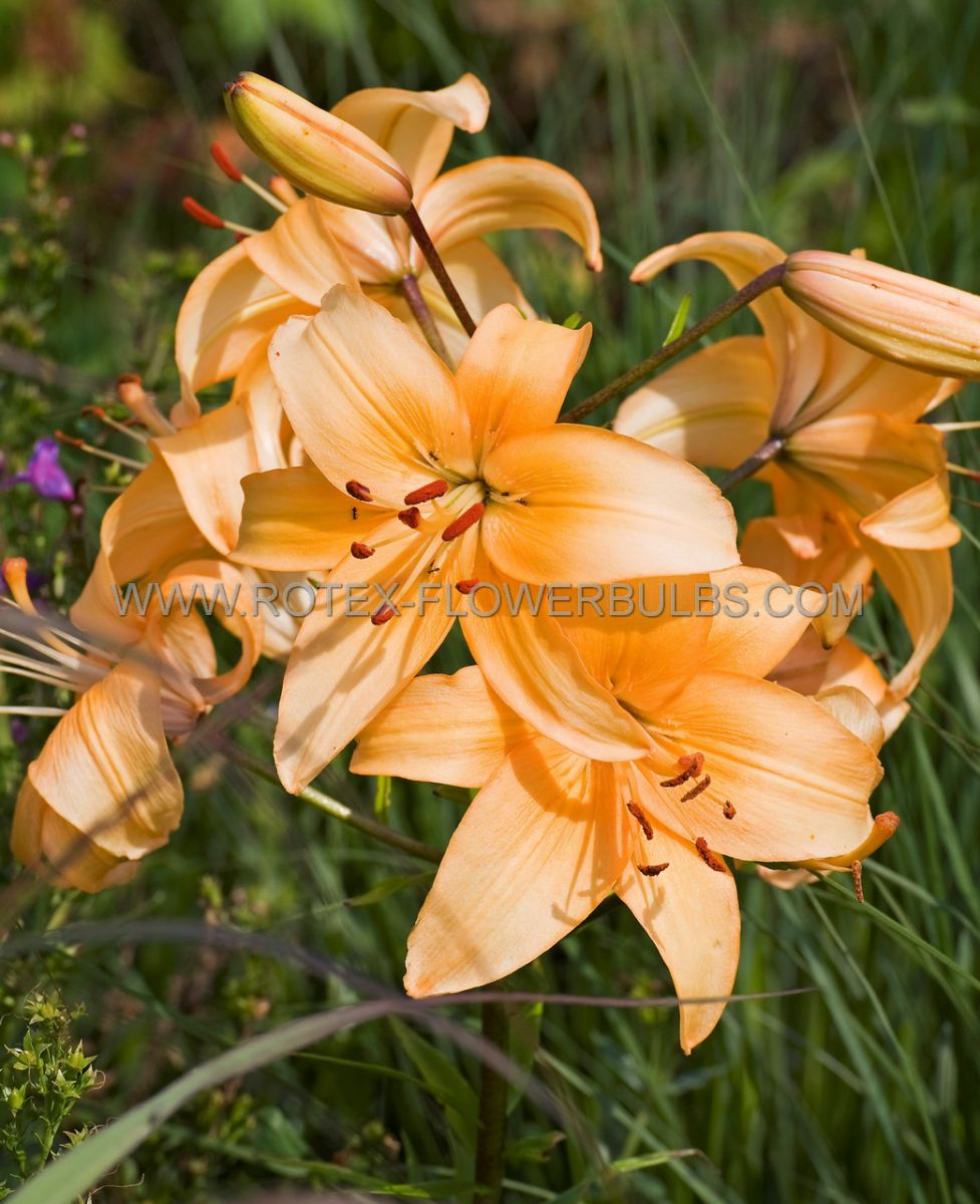 lilium asiatic sunset boulevard 1618 cm 25 popen top box