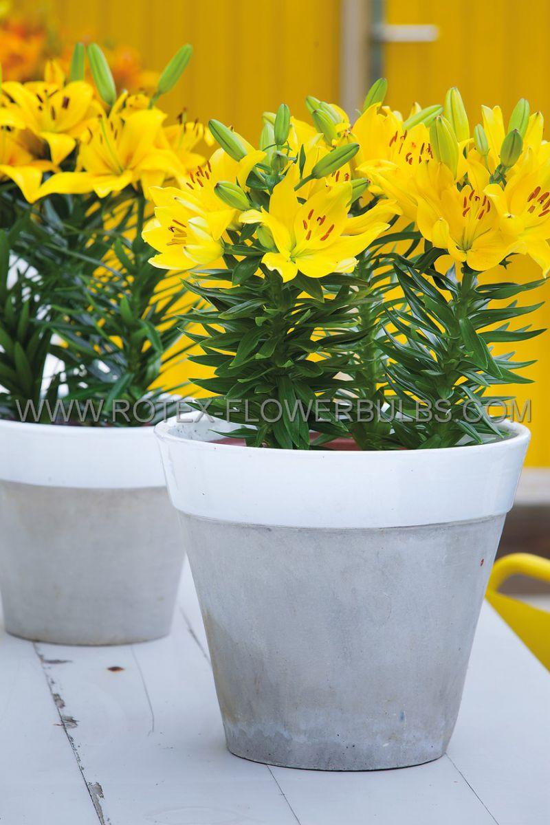 lilium asiatic yellow cocotte 1618 cm 10 pkgsx 2