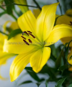 LILIUM ASIATIC 'YELLOW COCOTTE' 16/18 CM. (25 P.OPEN TOP BOX)
