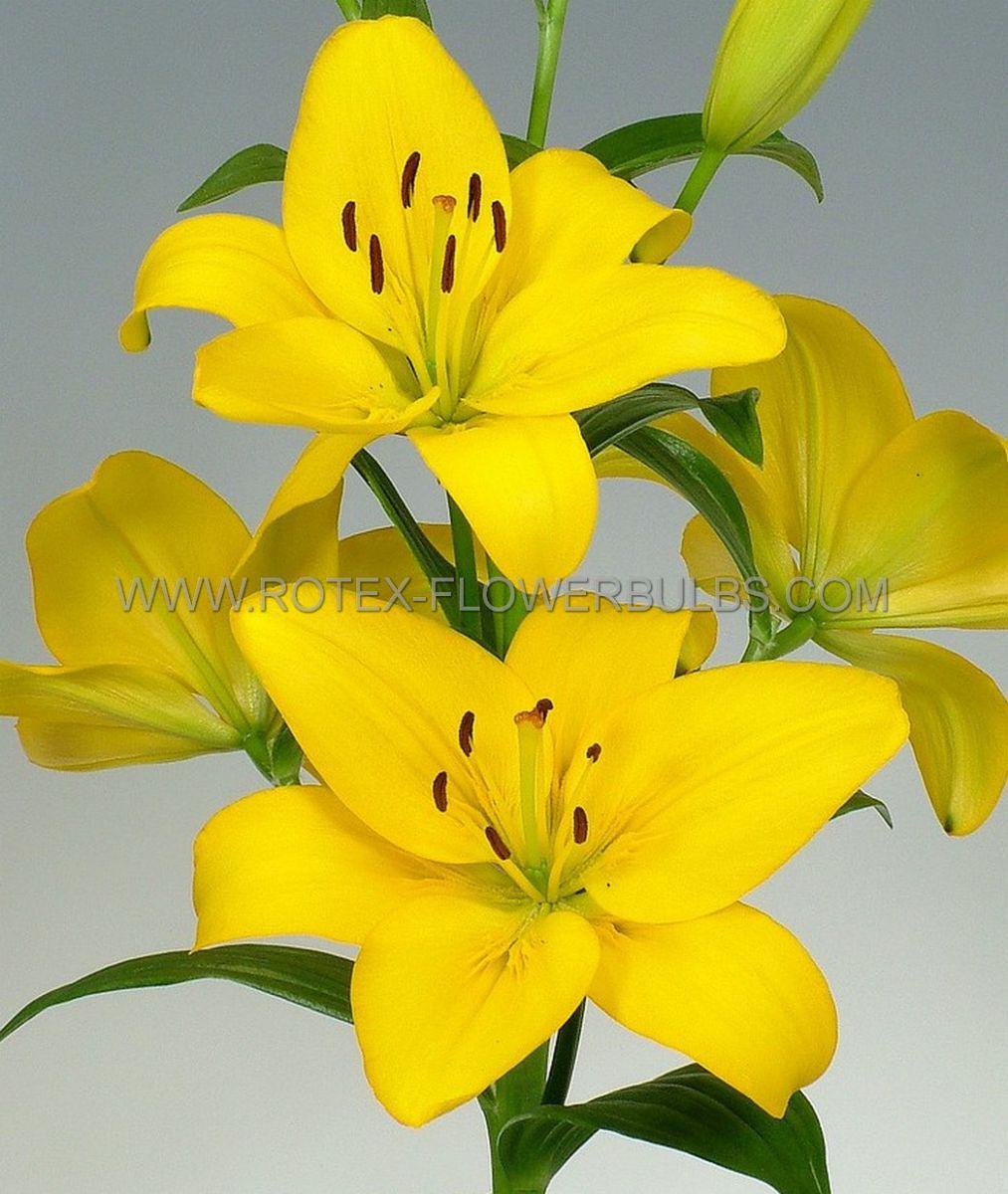 lilium asiatic yellow cocotte 1618 cm 25 popen top box