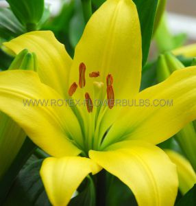 LILIUM ASIATIC 'YELLOW COUNTY' 16/18 CM. (25 P.OPEN TOP BOX)
