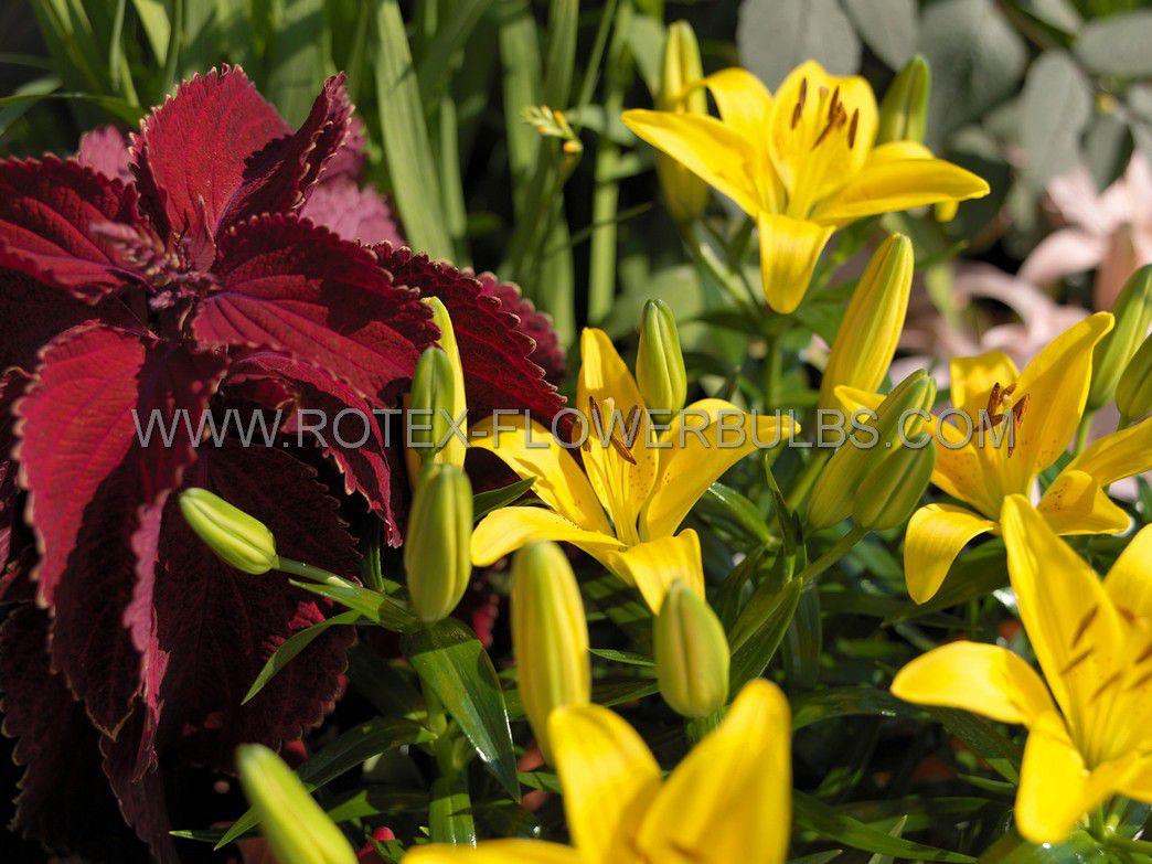 lilium asiatic yellow county 1618 cm 25 popen top box