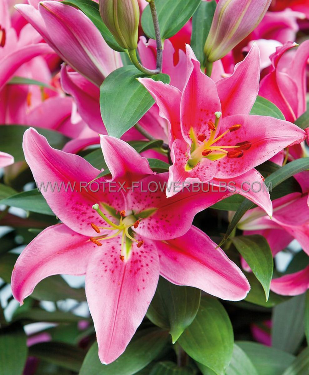 lilium oriental after eight 1618 cm 25 popen top box