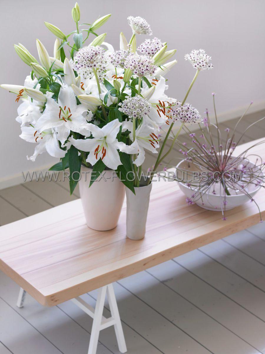 lilium oriental casa blanca 1618 cm 25 popen top box
