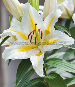LILIUM ORIENTAL 'GARDEN PARTY' 14/16 CM. (30 P.CARTON)