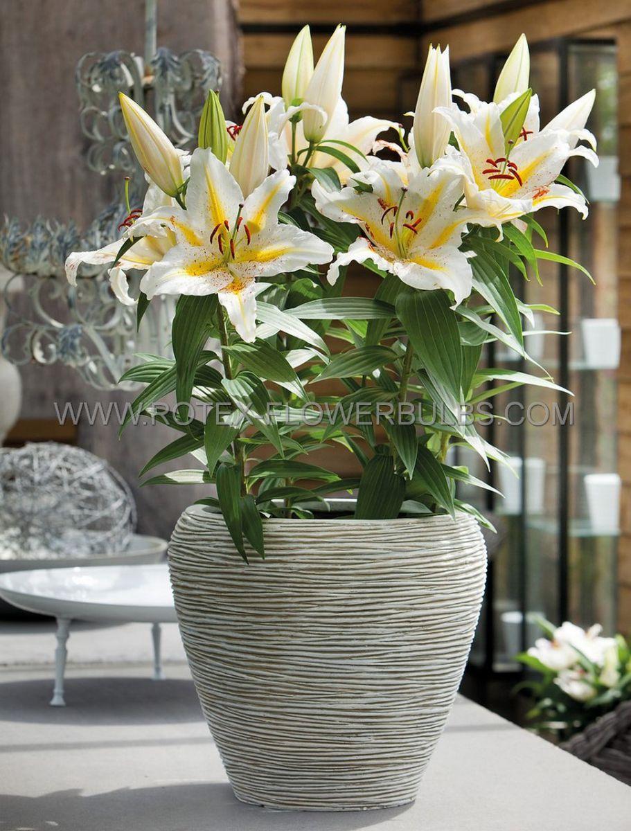 lilium oriental garden party 1416 cm 30 pcarton