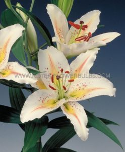 LILIUM ORIENTAL 'GOLD BAND' 16/18 CM. (25 P.OPEN TOP BOX)